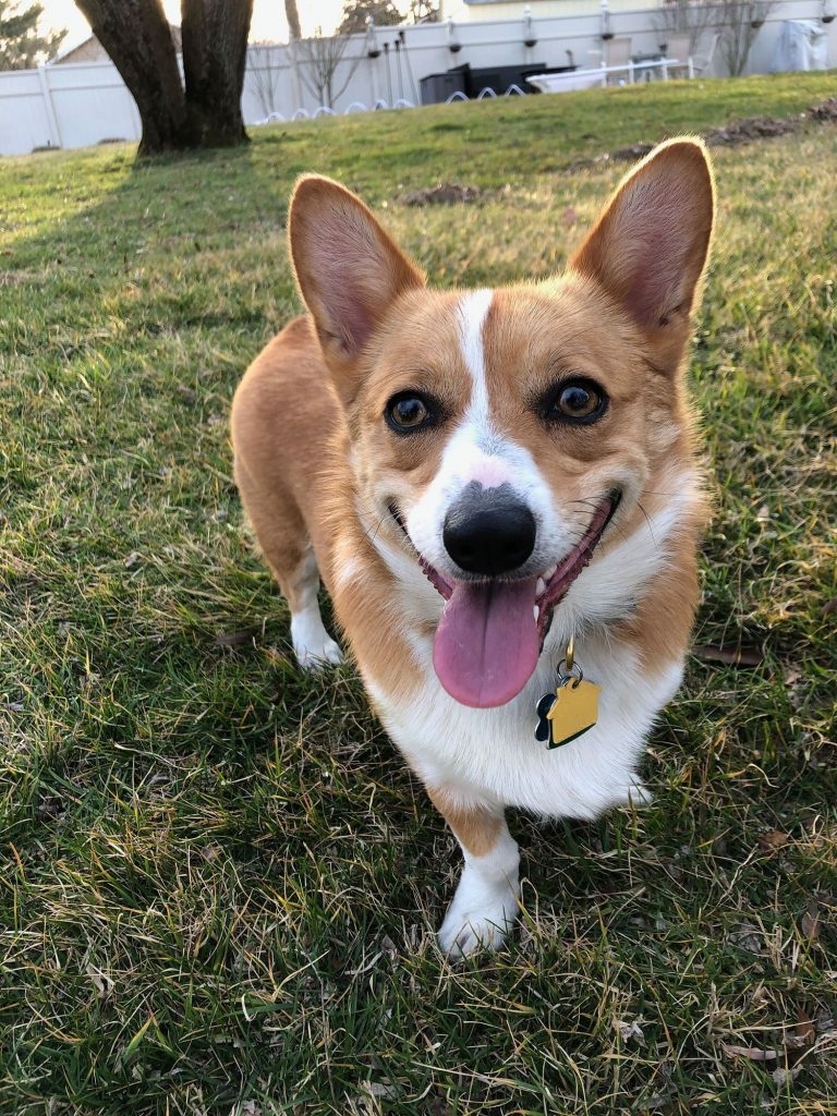 Ein the Corgi is tired and happy from playing ball in the backyard.